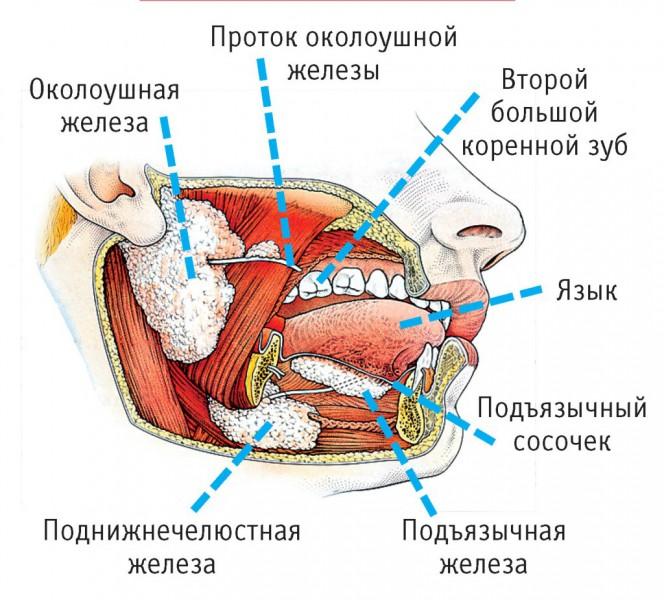 рак слюнной железы схема